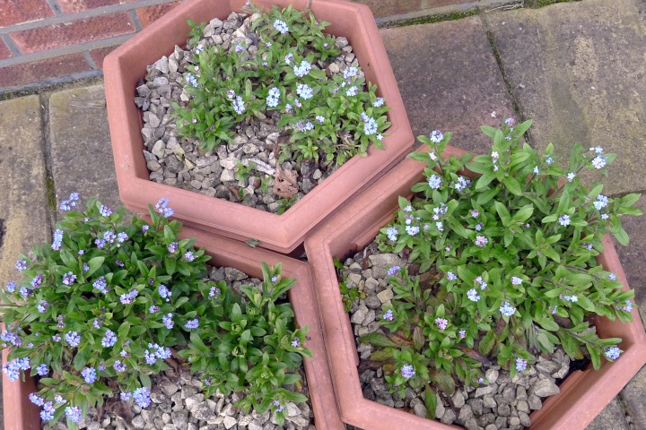forget-me-nots in pots