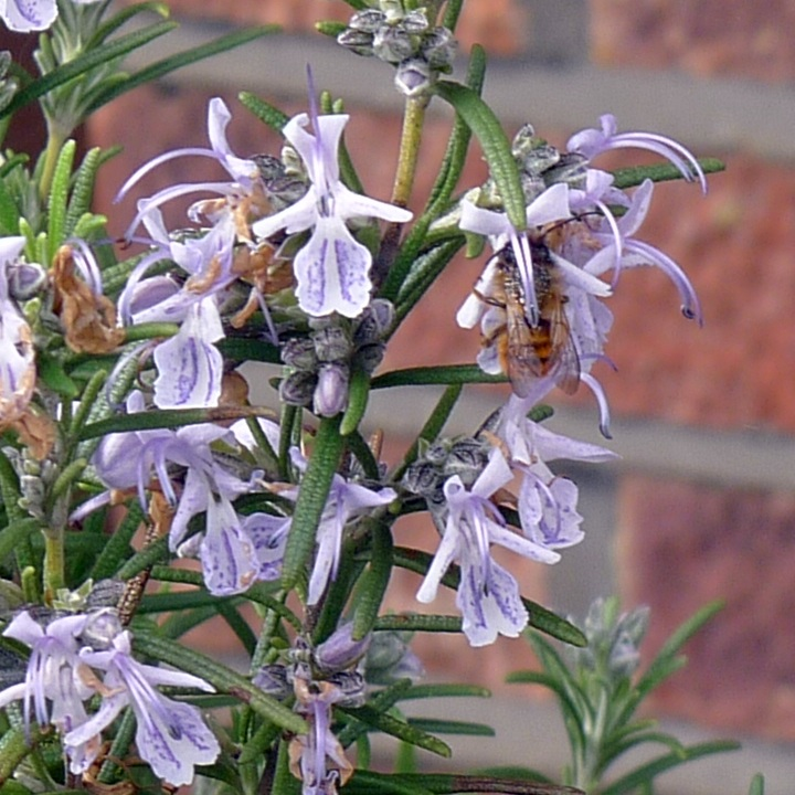 another bee on rosemary
