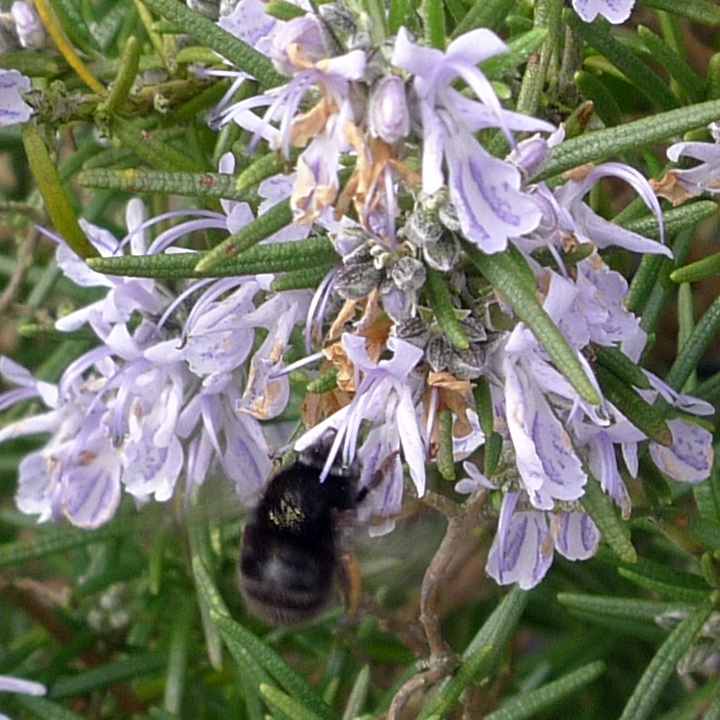 bee on rosemary