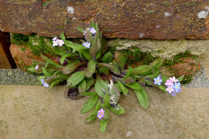 forget-me-nots in crevice