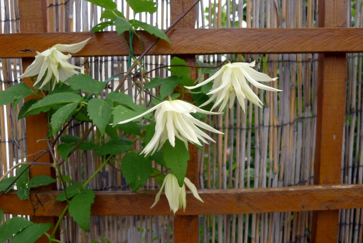 clematis fully open