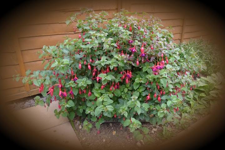 fuschia bush