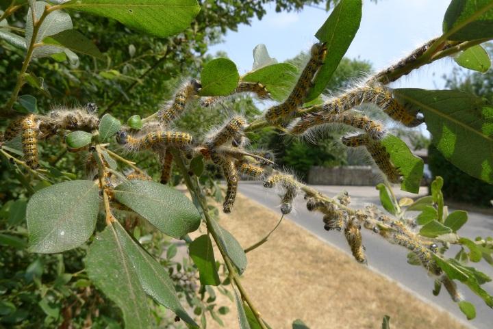caterpillars on branch