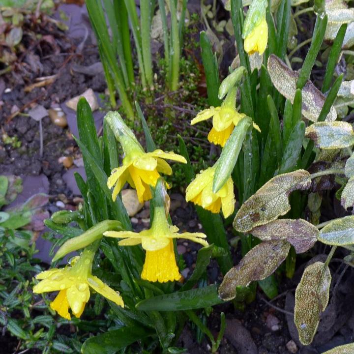 daffodils near sage bush