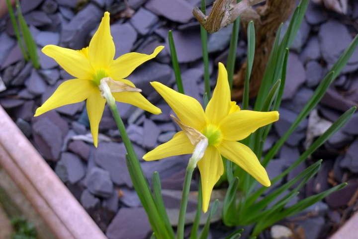 two February gold daffodils from behind