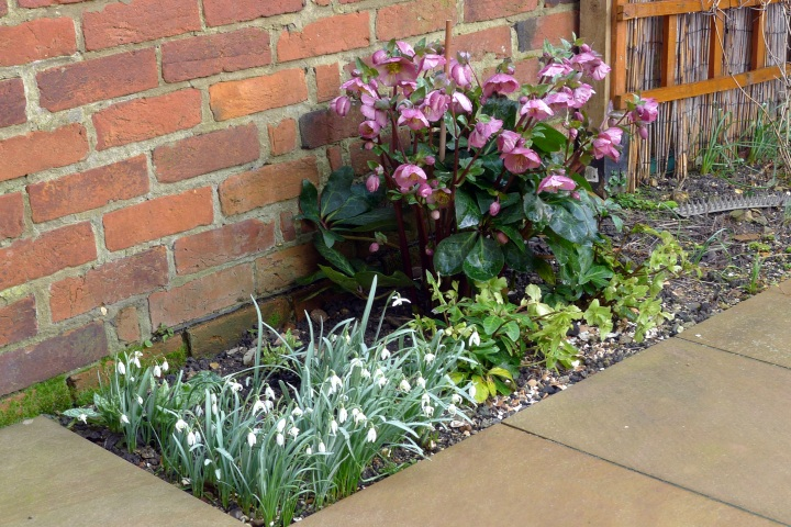 snowdrops and hellebore