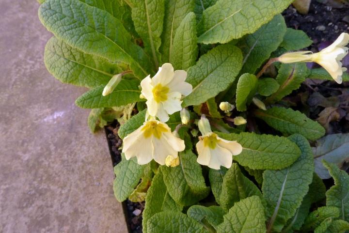 primroses closer