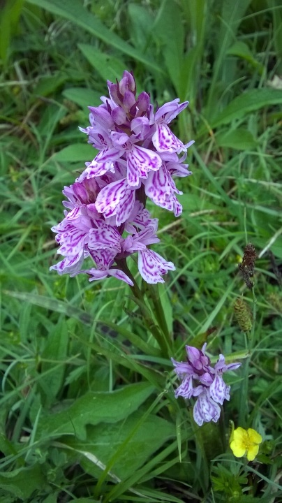 third orchid