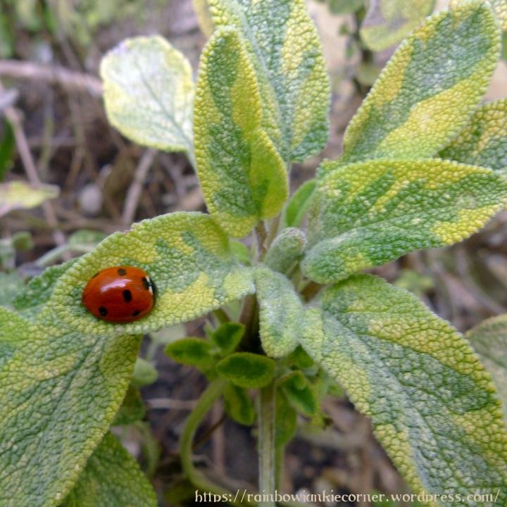 ladybird on sage
