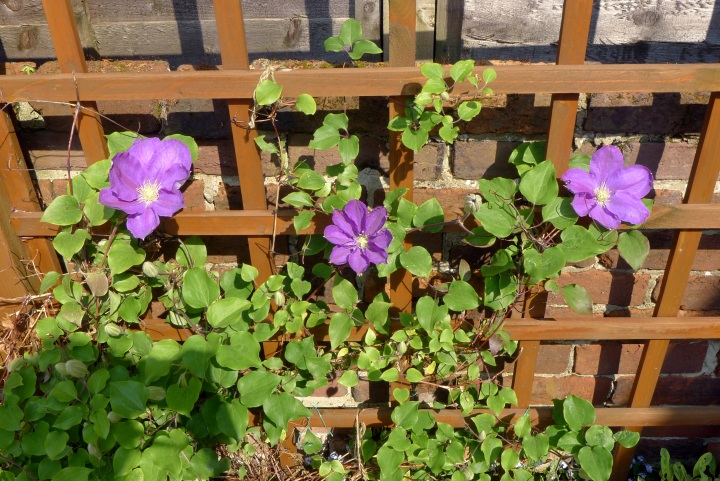 3 clematis flowers