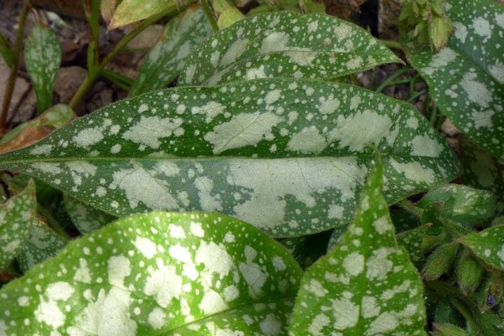 blotchy leaf