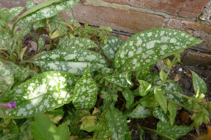 pulmonaria leaves