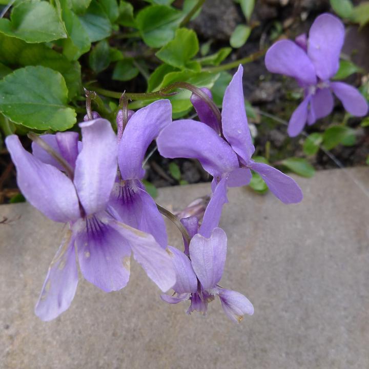 violets on paving